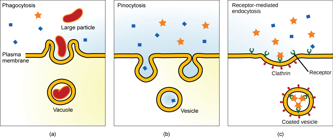 endocytosis example - photo #16