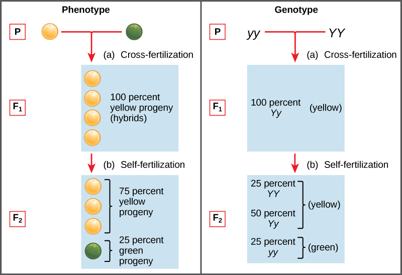 explain the relationship between a person genotype and their phenotype