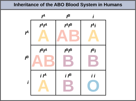 Punnett square showing the possible genotype and phenotypes of the ...