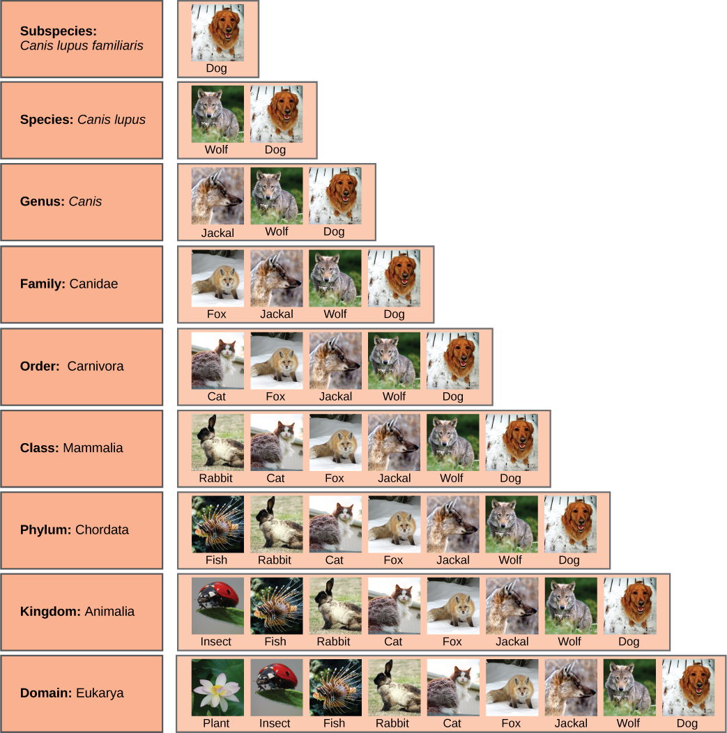 an analysis of where the canis familiaris came from Posts about cans lupus familiaris written by  (canis lupus), red wolf  although genetic analysis in a 2011 study showed that came from the italian-french.