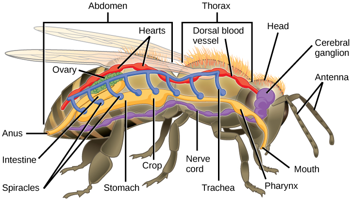 Shrimp Internal Anatomy