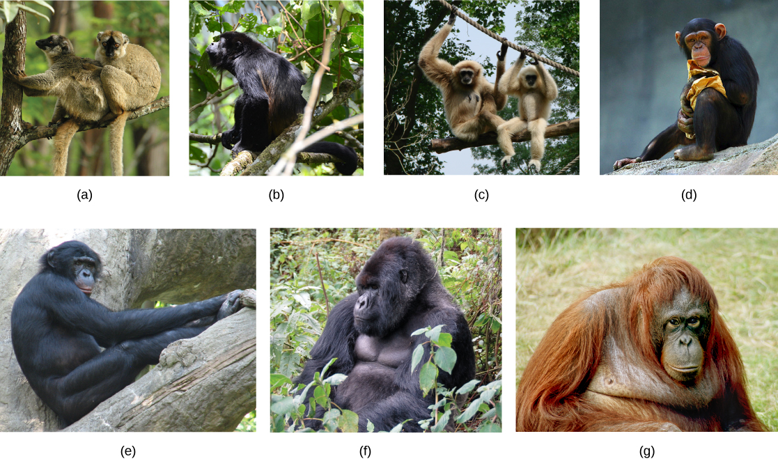 the characteristics of the bonobo a primate species Thank you for taking the time to provide feedback on the iucn red list of threatened species pan paniscus (bonobo bonobos are the largest primate in.