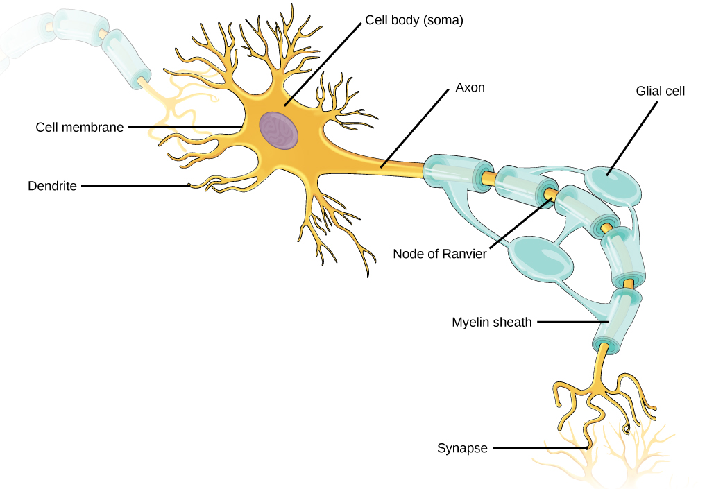 Chapter 16 the body s systems biology open course framework for What is motor neuron